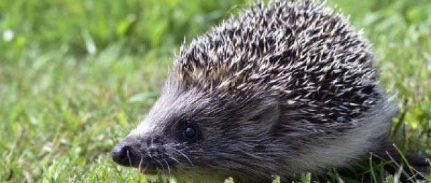 Yleisimmät eläinlääkärille hoitoon tuotavat luonnoneläimet ovat siilejä ja pikkulintuja.